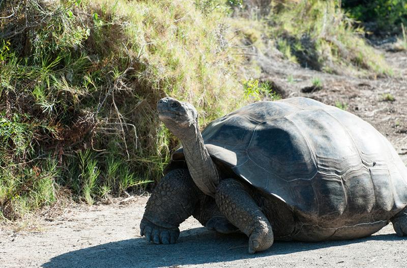Круизный лайнер Celebrity Xploration - Галапагосская черепаха